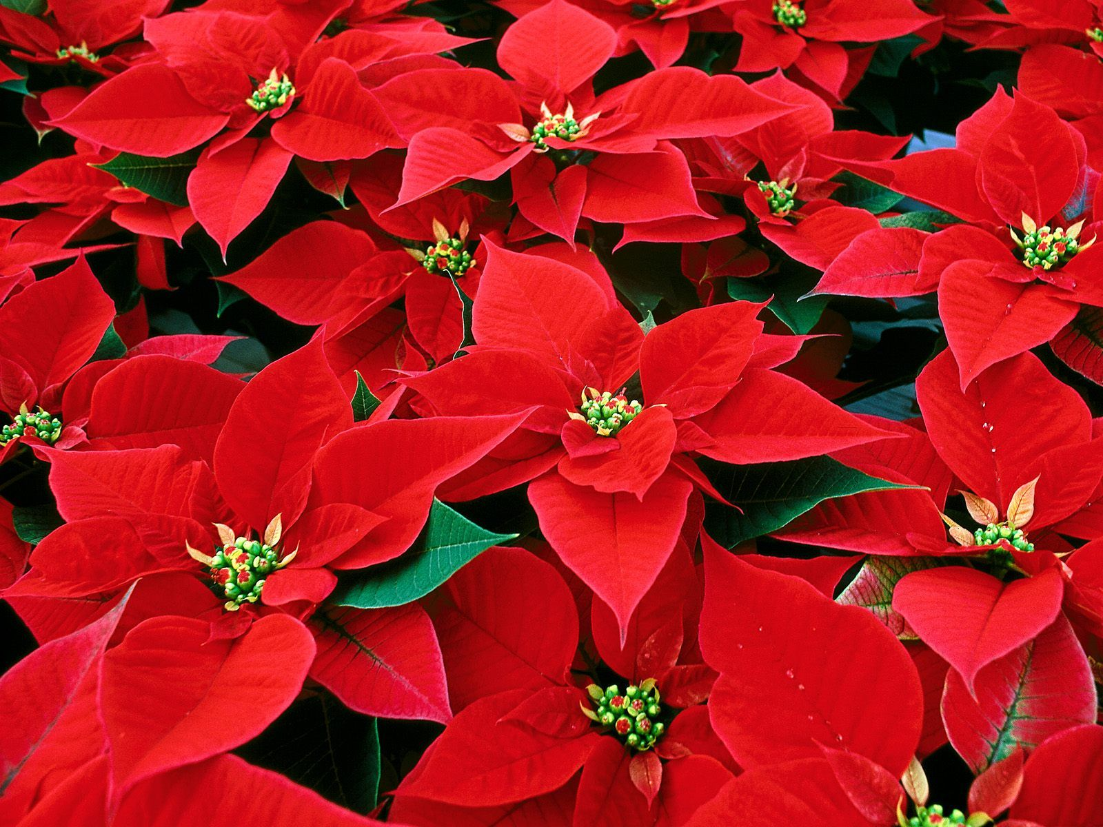 1600x1200 Best 33+ Poinsettia Wallpaper on HipWallpaper | Wallpaper ...