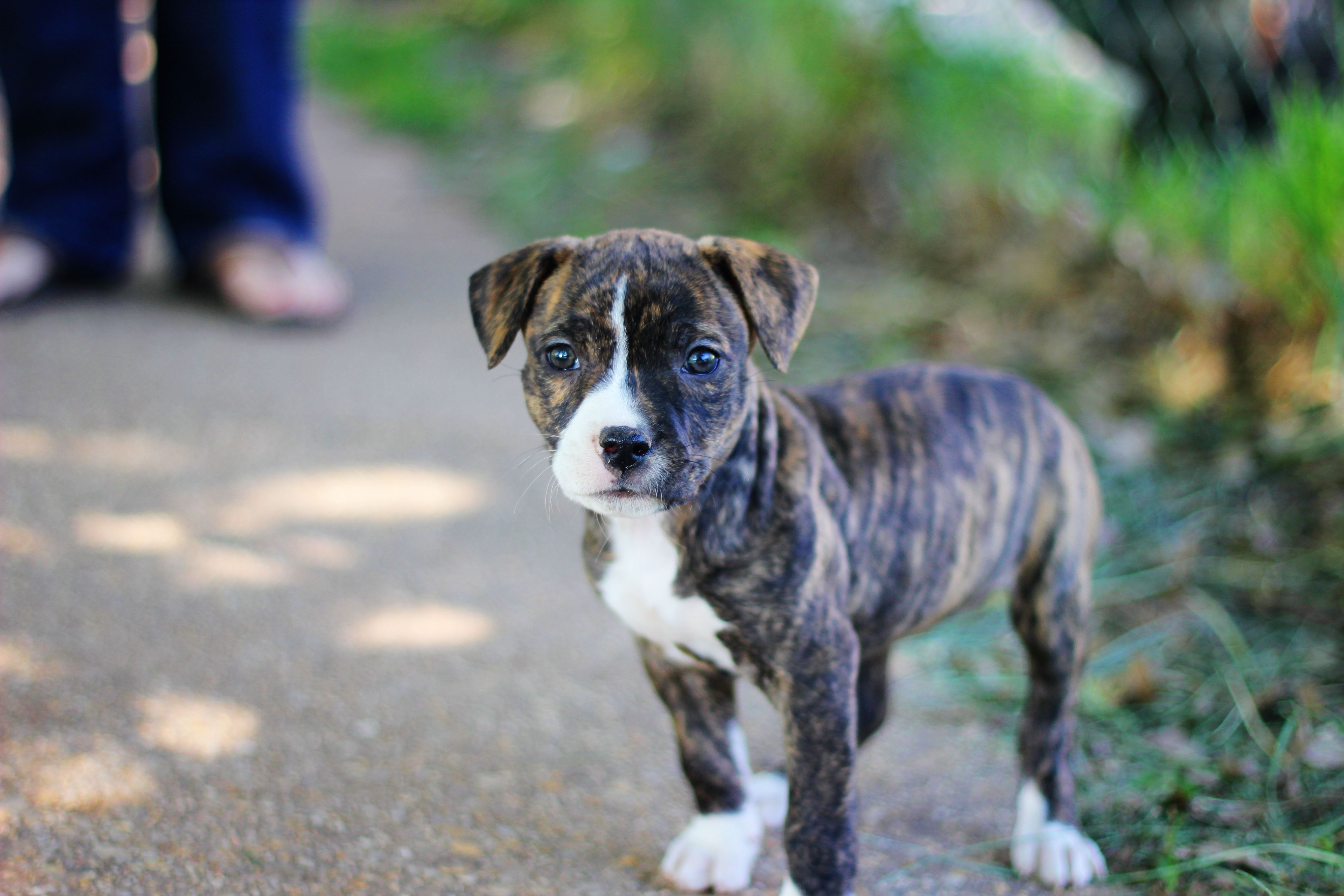 5184x3456 Pitbull Dog Puppy Wallpaper and Pictures Free | New ...