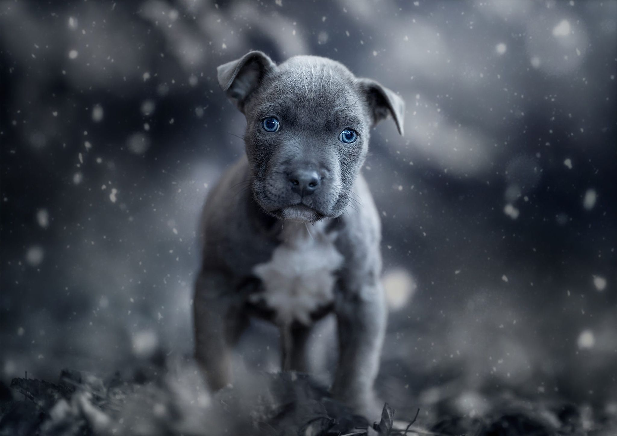 2048x1449 American Pit Bull Terrier HD Wallpaper | Background Image ...