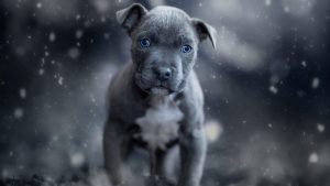 Baby Pitbull Wallpapers – Top Free Baby Pitbull Backgrounds