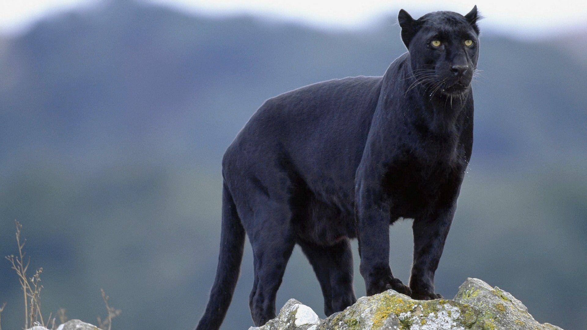 1920x1080 101 Black Panther HD Wallpapers   Background Images ...