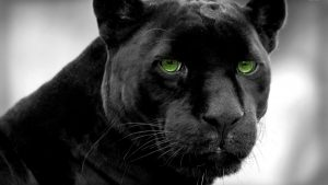 Angry Black Panther Animal Wallpapers – Top Free Angry Black Panther Animal Backgrounds