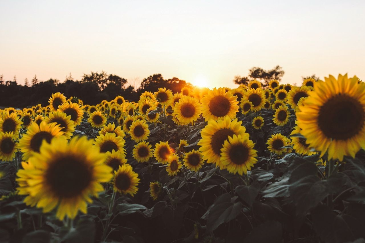 1280x853 Sunflower Backgrounds - Yellow Aesthetic Laptop Background ...