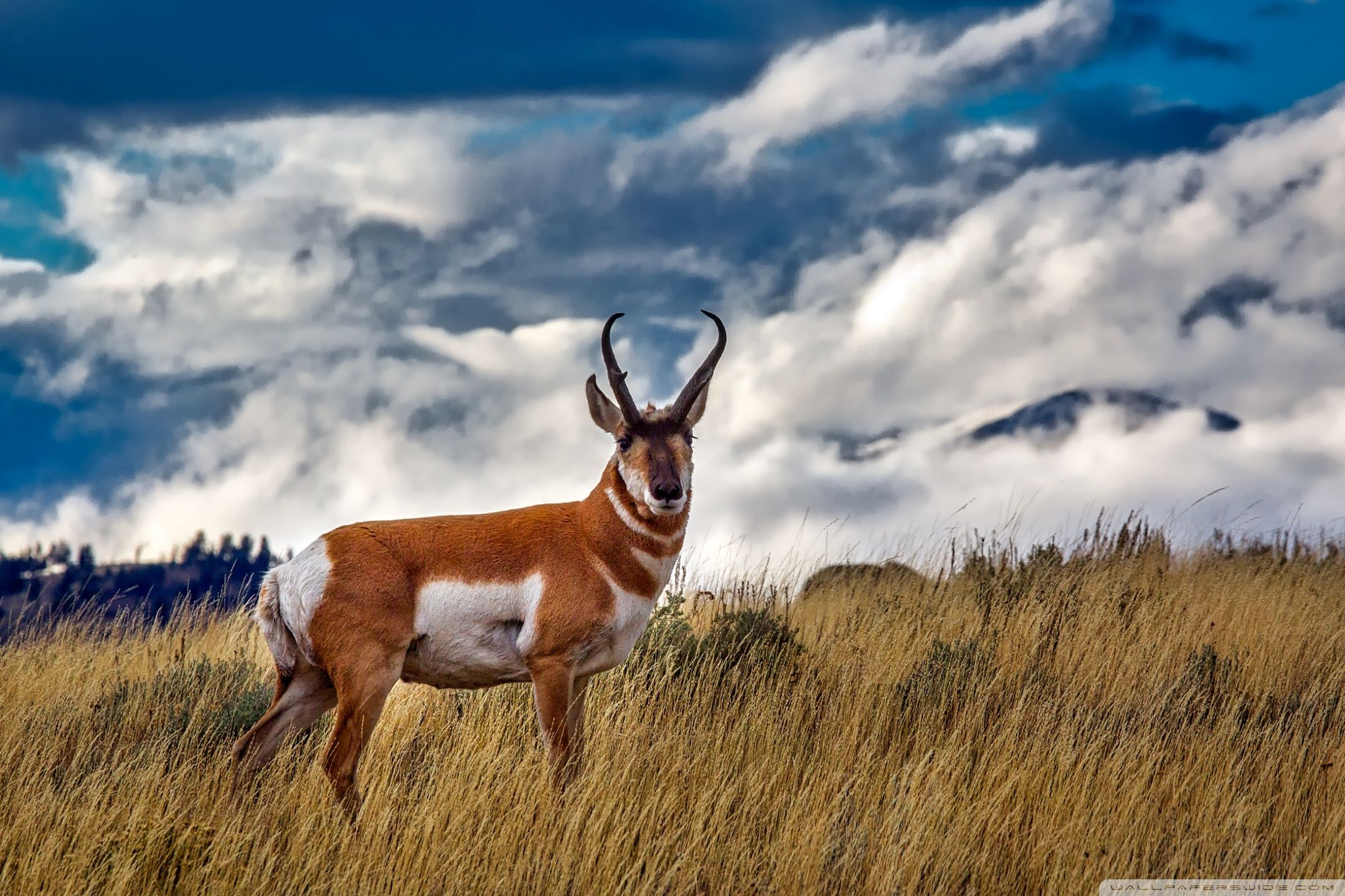 2160x1440 Pronghorn Antelope Ultra HD Desktop Background Wallpaper for 4K ...