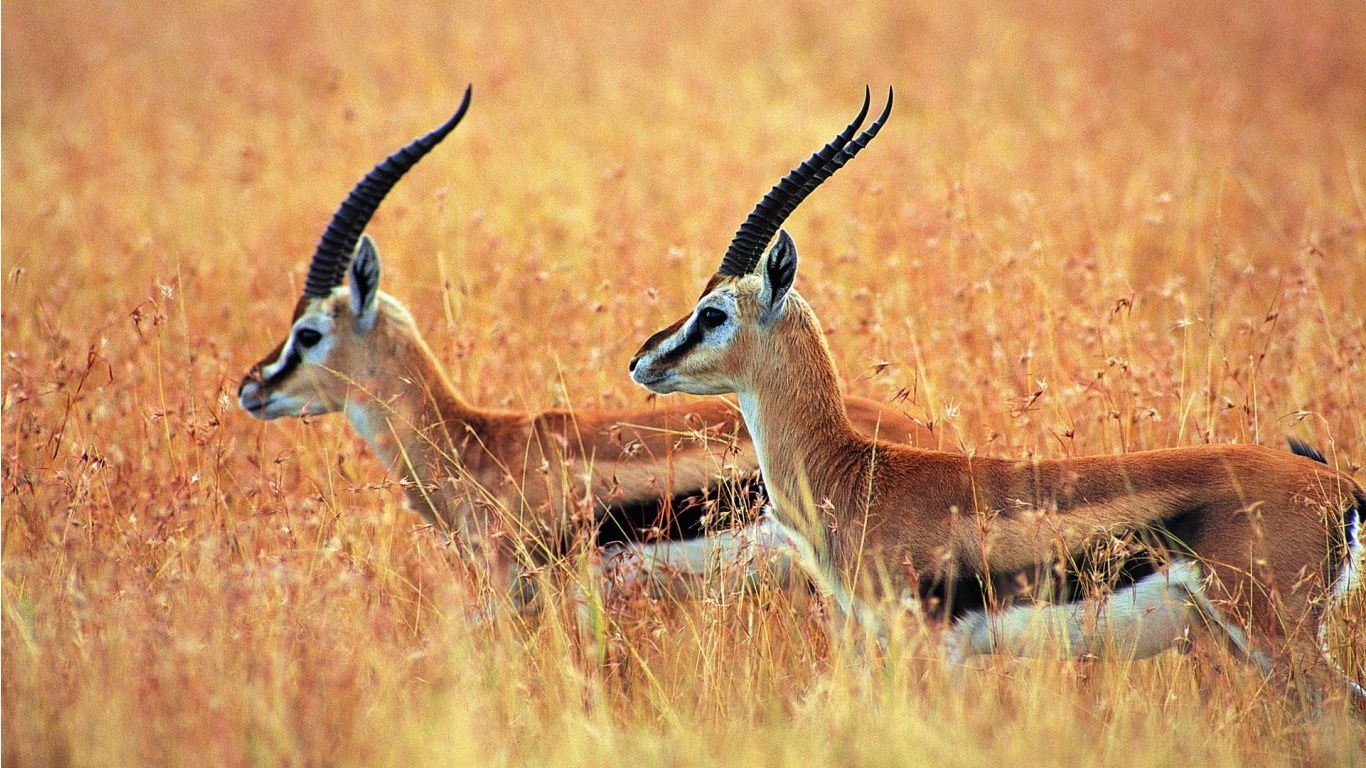 1366x768 Antelope Wallpapers 4K (1366x768) | WallpapersExpert.com