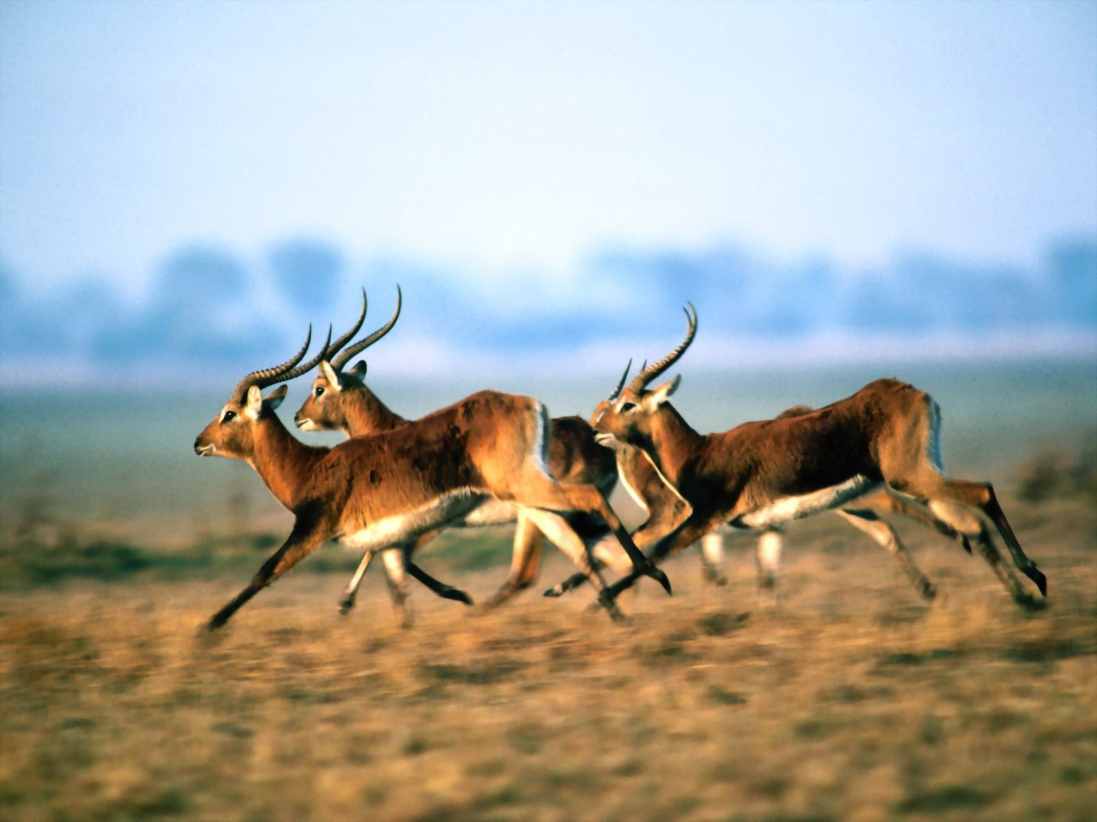 1600x1200 A herd of antelope wallpapers, photo, images, picture (A herd of ...
