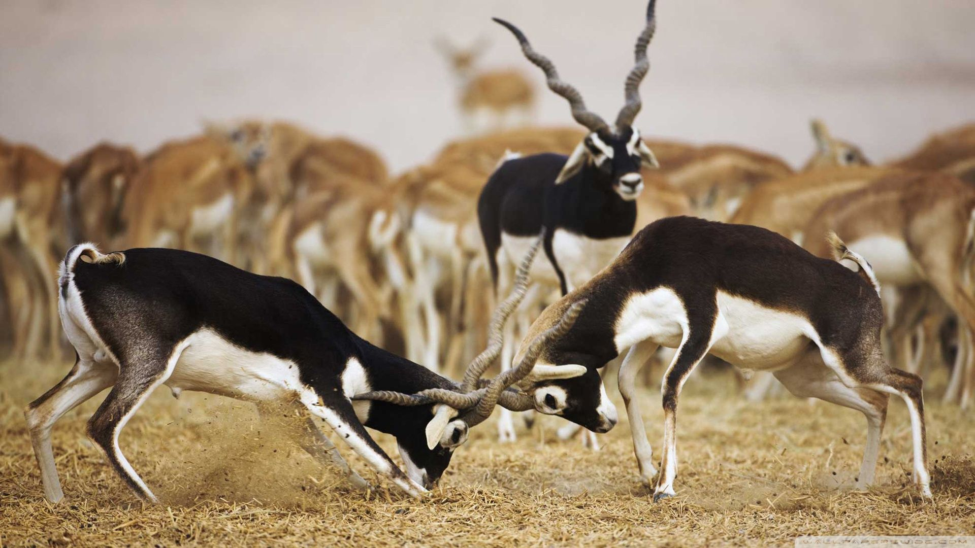 1920x1080 Blackbuck Antelopes Ultra HD Desktop Background Wallpaper for 4K ...