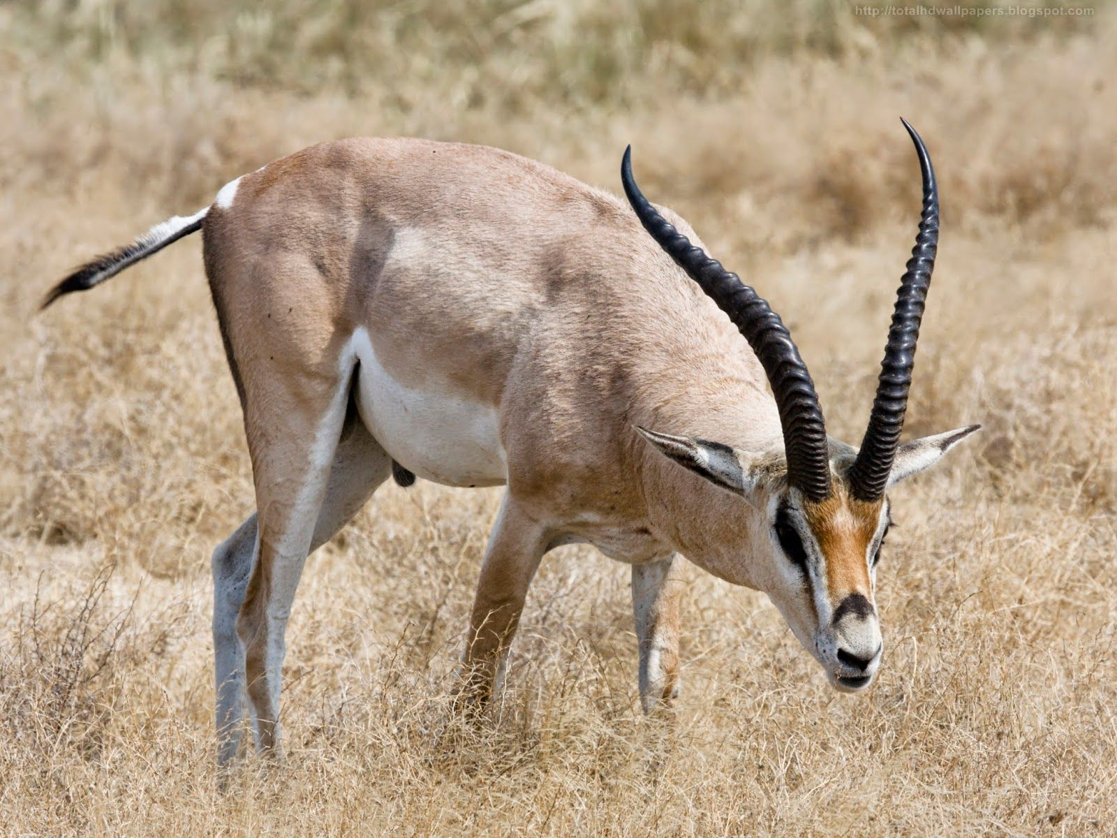 1600x1200 Kamal Shah: Roan Antelope HD Wallpapers