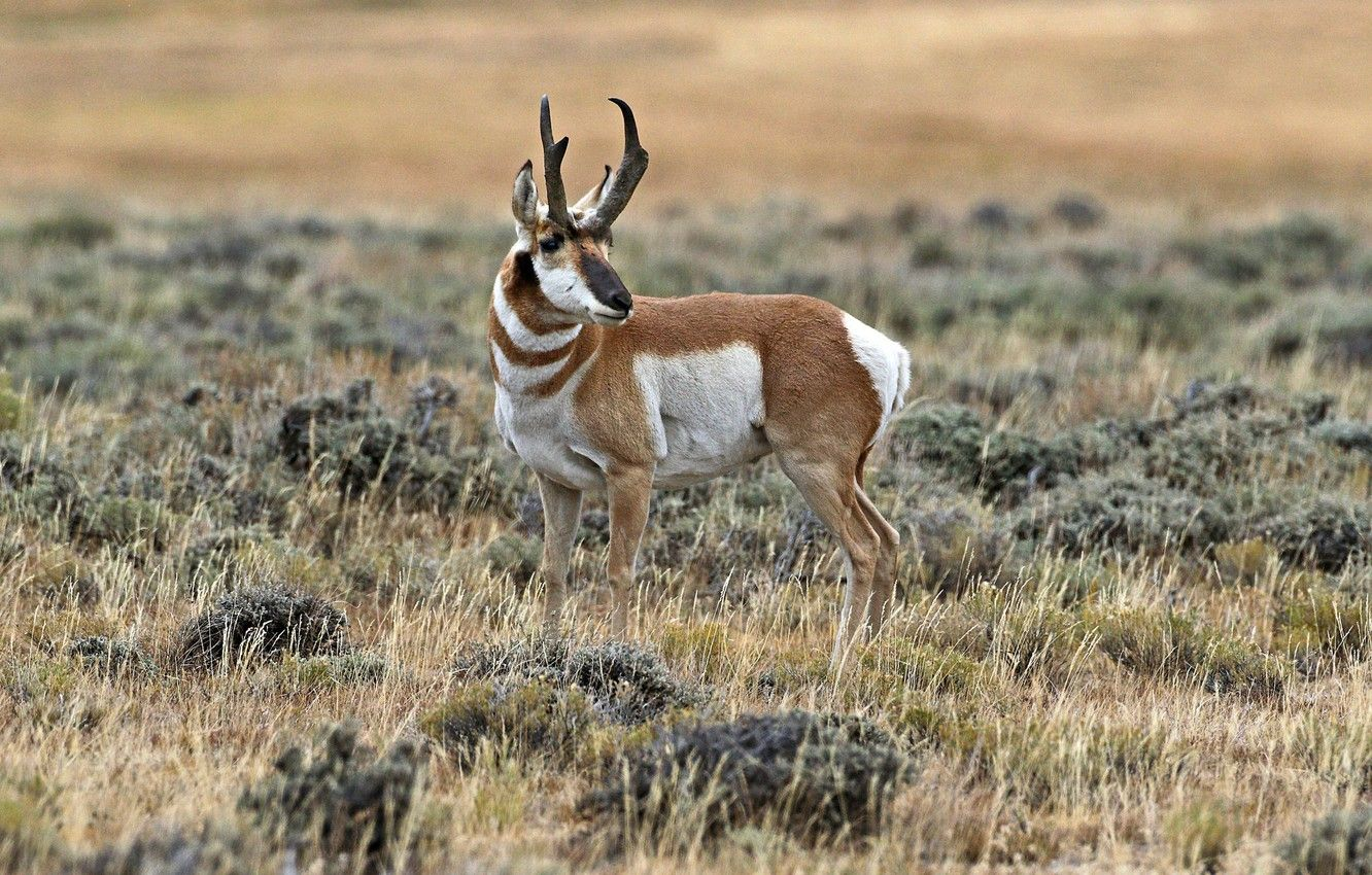 1332x850 Wallpaper horns, mammal, antelope, pronghorn images for desktop ...