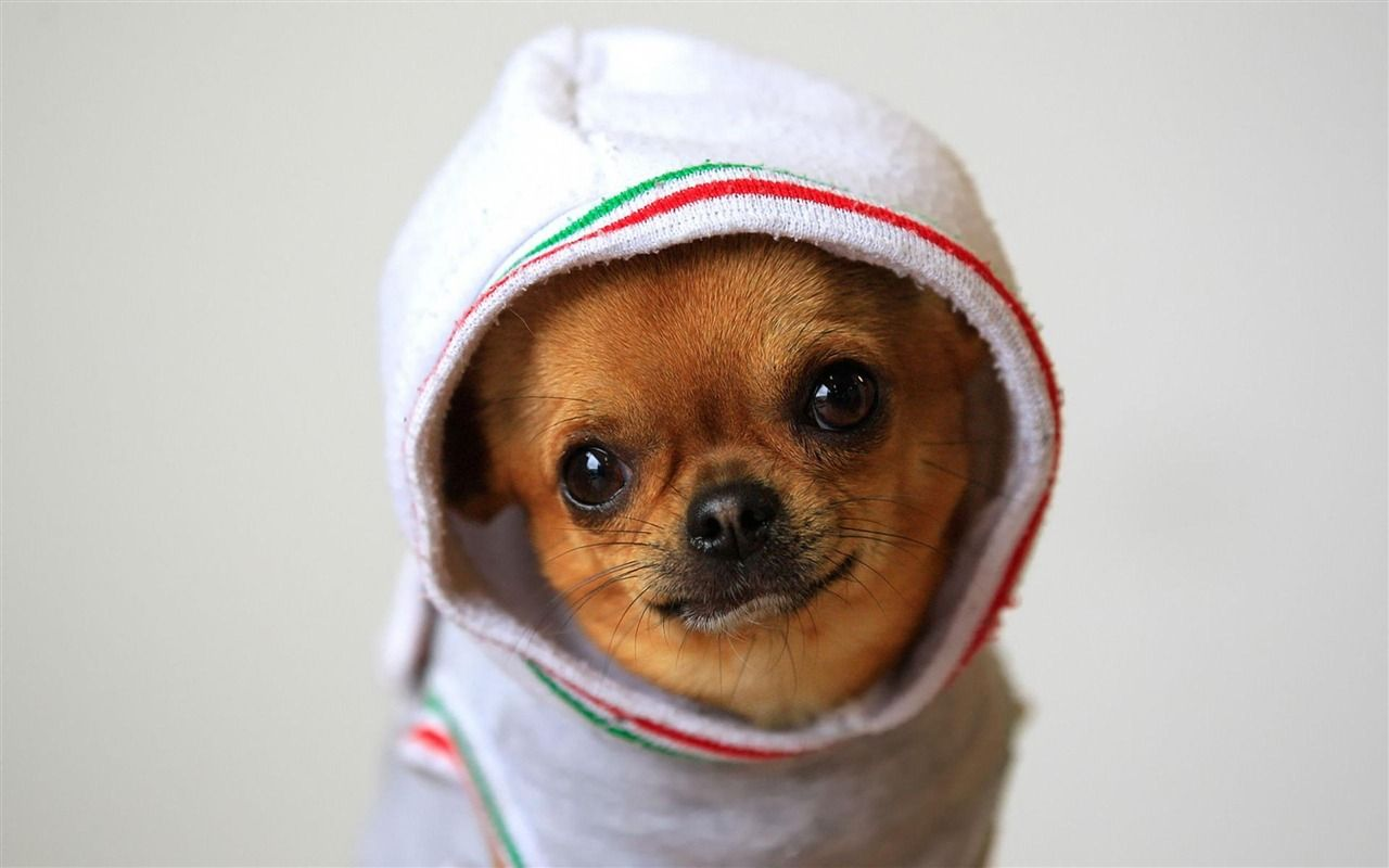 1280x800 Free download Funny Dog Wallpaper 98 Download Wallpapers [1280x800 ...