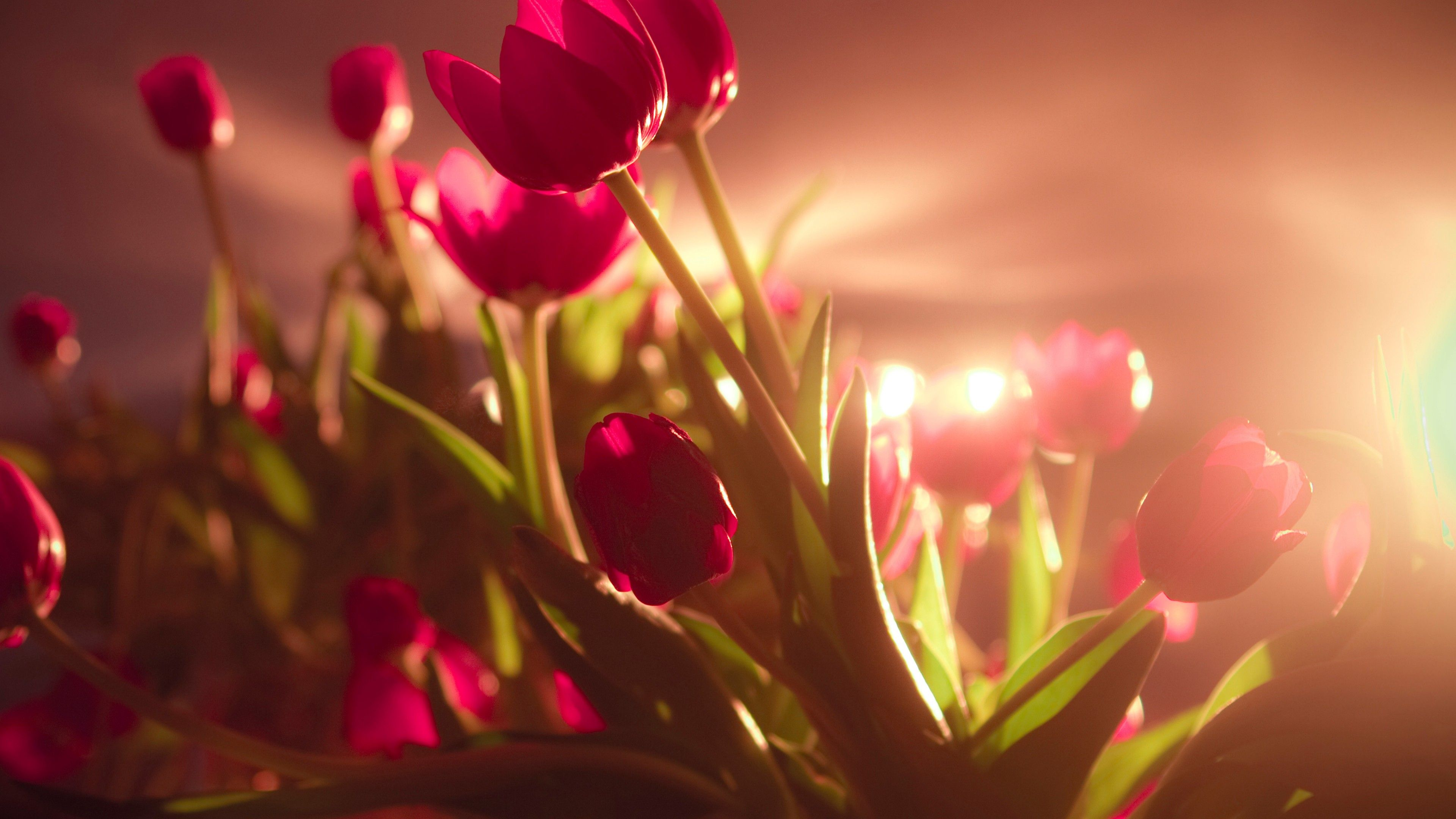 3840x2160 Wallpaper tulips, 4k, HD wallpaper, red, Valentine's Day, February ...