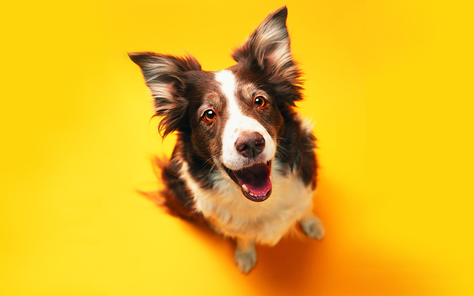 1600x1000 Funny Dog On The Yellow Background Wallpaper D #6499 Wallpaper ...