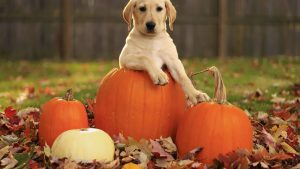 Puppy Thanksgiving Wallpapers – Top Free Puppy Thanksgiving Backgrounds