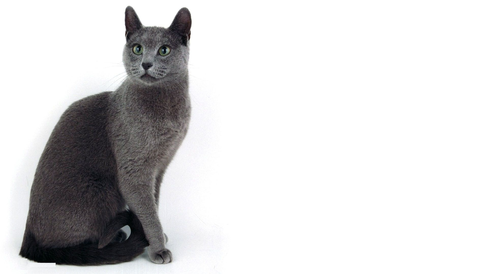 1920x1080 Russian Blue Cat Wallpapers - THIS Wallpaper