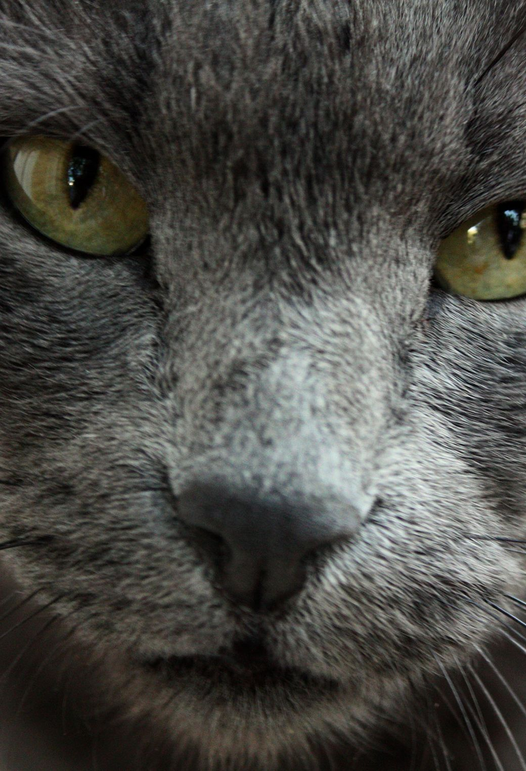 1040x1526 Russian Blue Cat Wallpaper for iPhone X, 8, 7, 6 - Free Download on ...