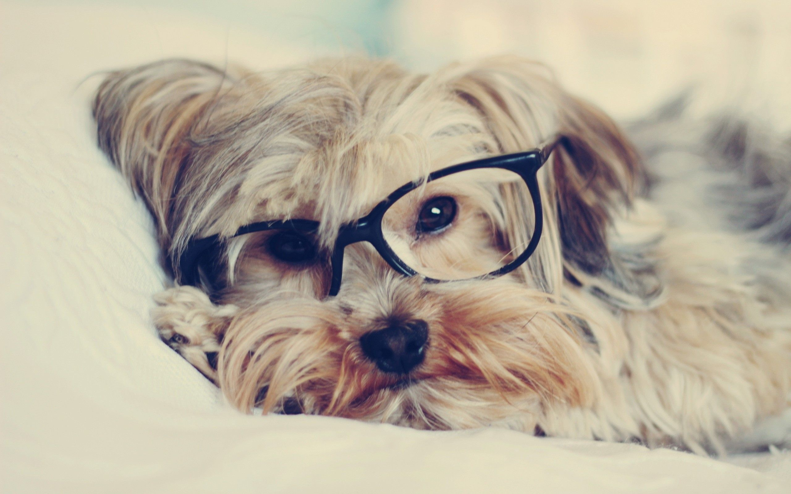 2560x1600 Dogs: Dogs Animals Puppies Hipster Glasses Wallpaper All for HD 16:9 ...