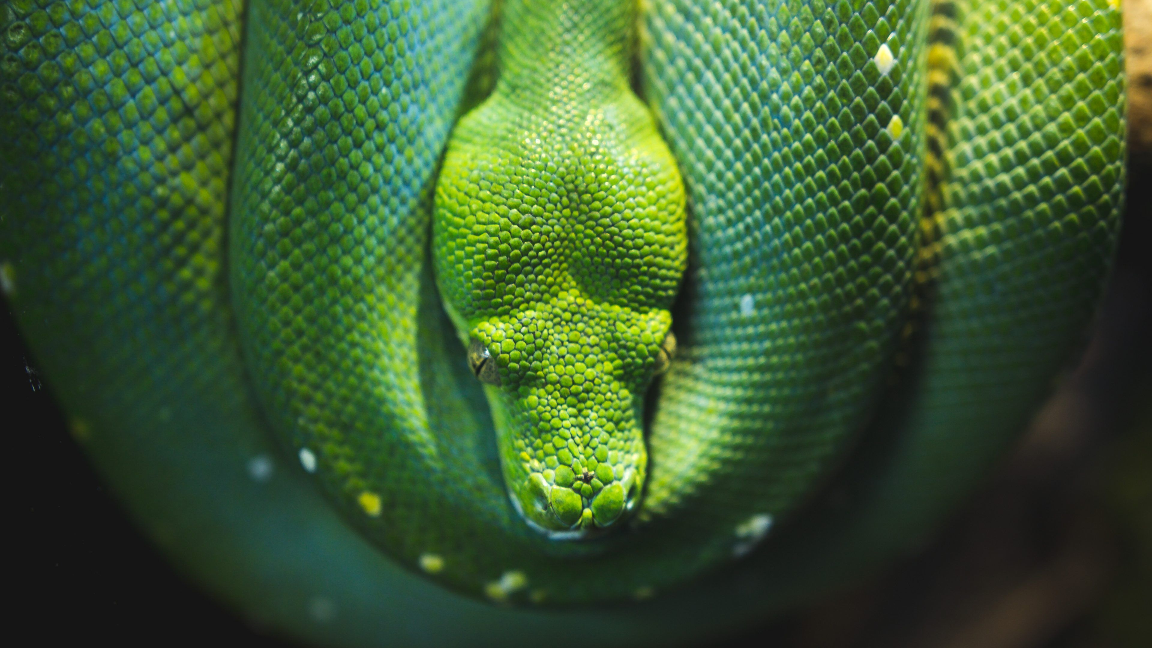 3840x2160 Snake Close Up Wallpaper 4K Background | HD Wallpaper Background