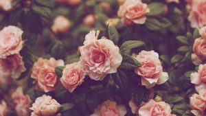 Hipster Rose Wallpapers – Top Free Hipster Rose Backgrounds