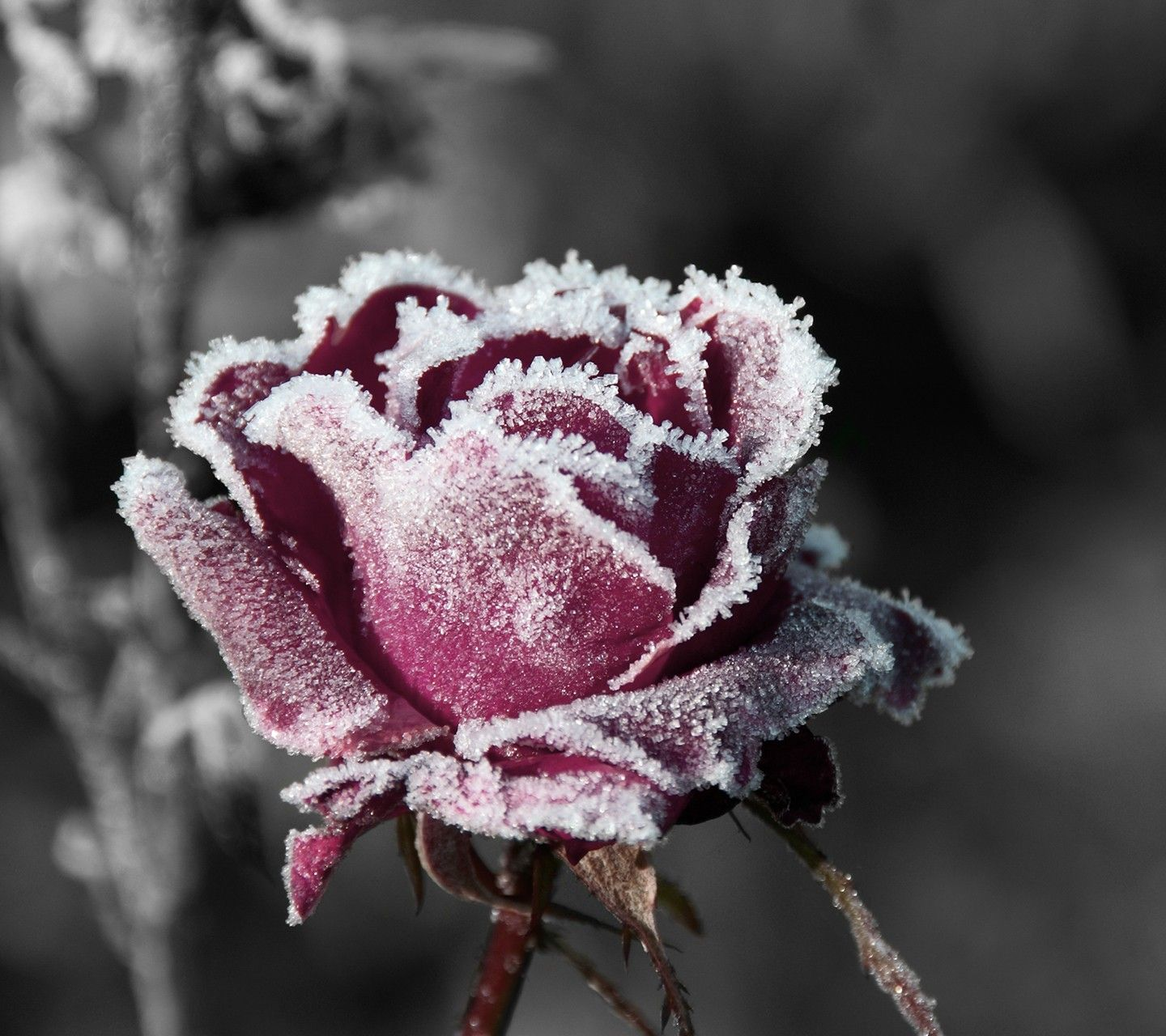 1440x1280 Flowers: Art Red Icy Rose Nature Flower Snow Wallpapers For Desktop ...