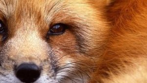 Red Fox iPhone Wallpapers – Top Free Red Fox iPhone Backgrounds