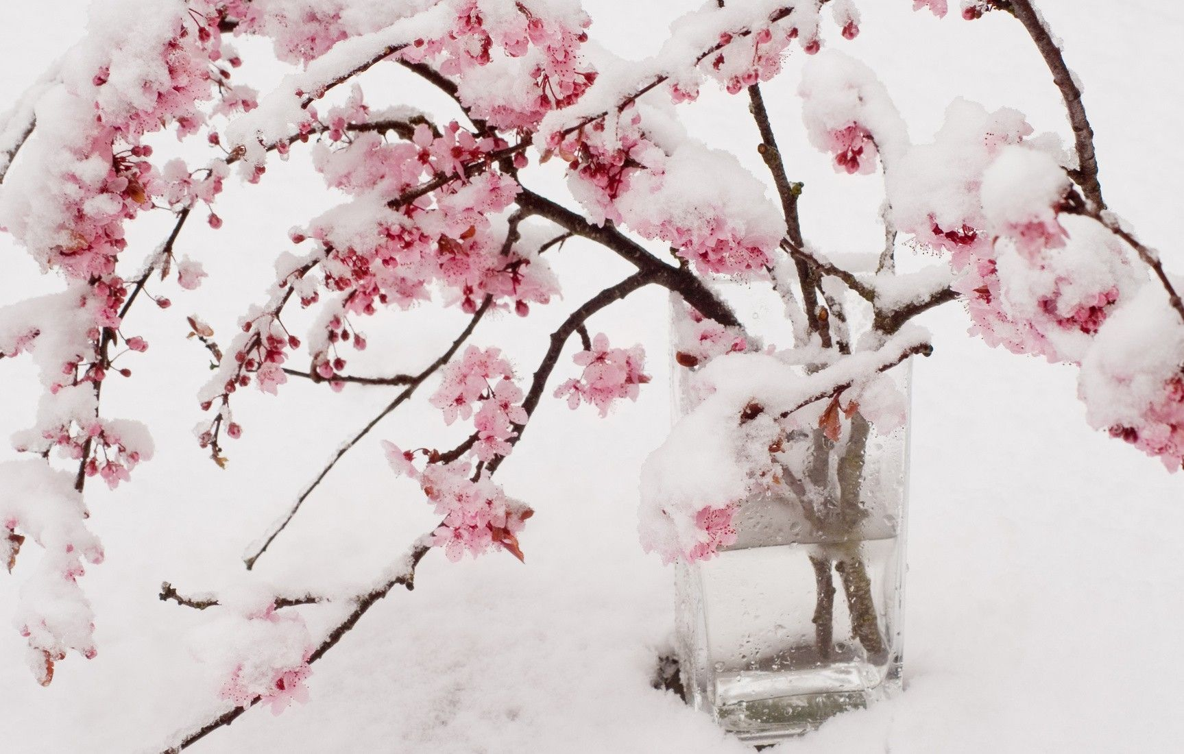 1727x1100 Flowers: Welcome Snow Cherry Blossoms Spring Flower Scenery ...