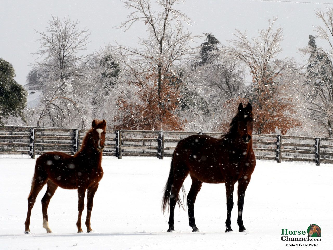 1280x960 Winter Equine Screensaver and Wallpapers