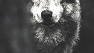 Wolf Phone Wallpapers – Top Free Wolf Phone Backgrounds