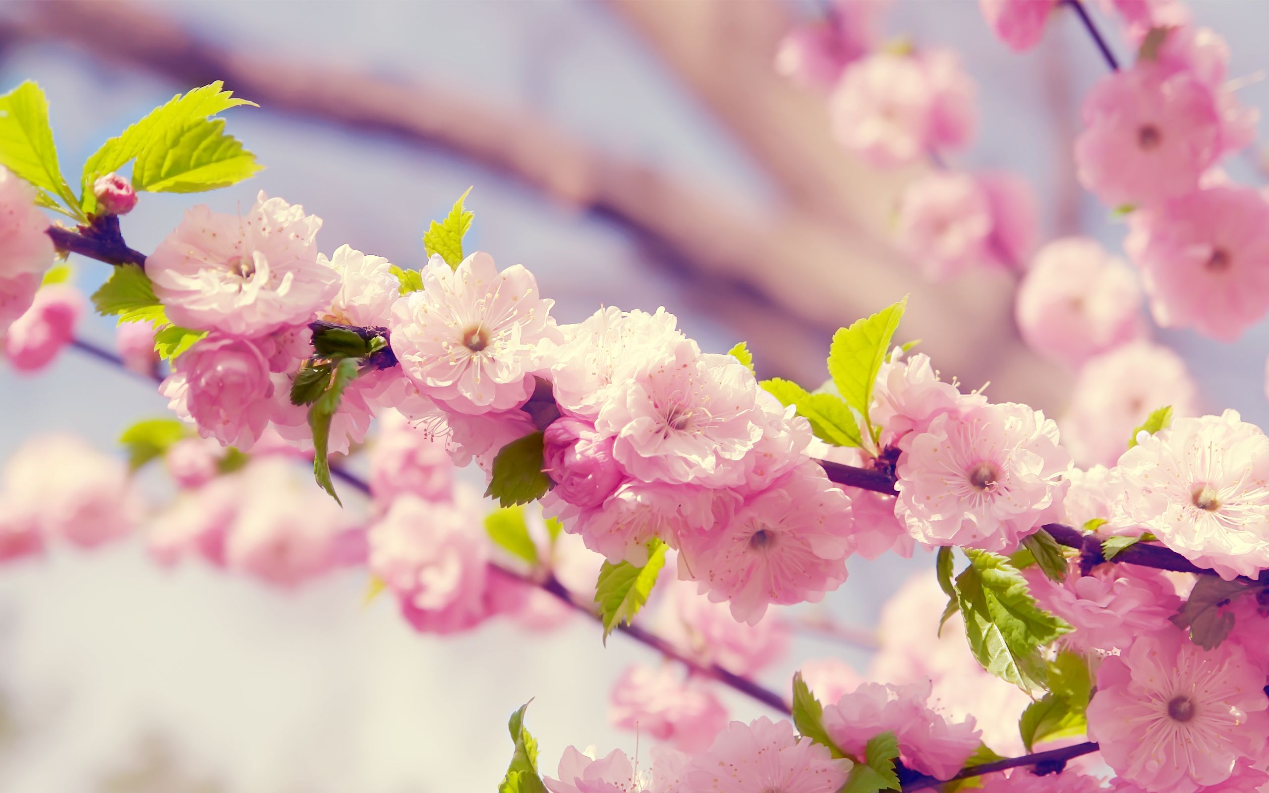 2560x1600 Pink Flower Wallpapers, 36 Pink Flower Images for Free (2MTX Pink ...