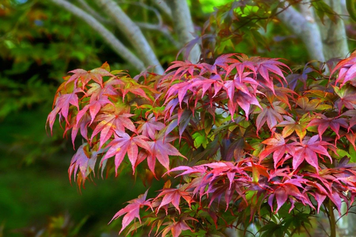 1200x800 CC6677 Color wallpapers Page 2: Japanese Orange Pink Nature Maple ...