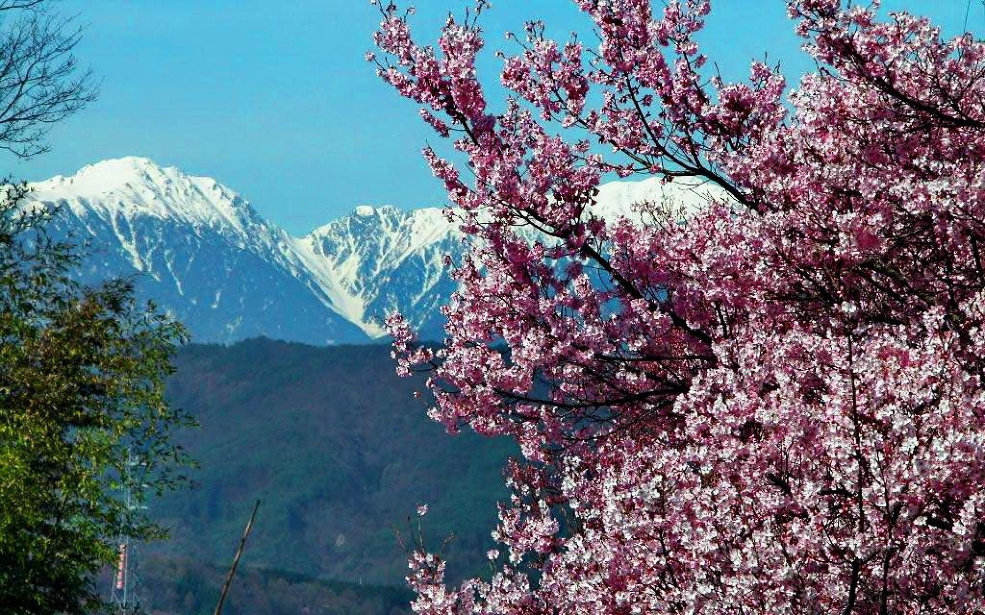 1920x1200 Flower: Mountains Spring Cherry Snow Blossoms Twigs Tree Landscape ...