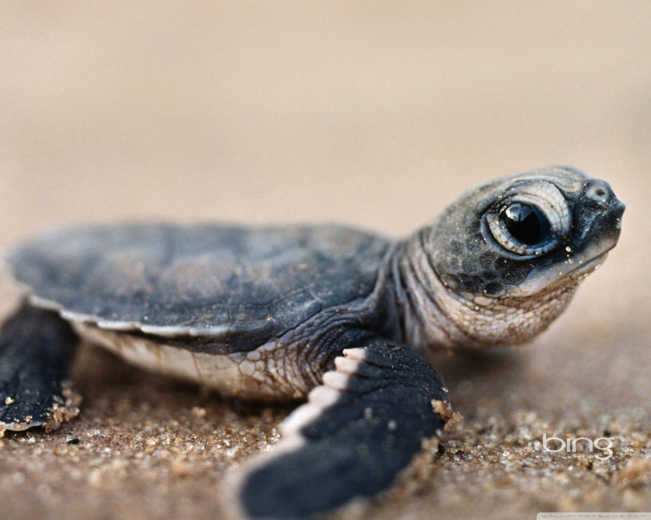 1280x1024 Baby Turtles Wallpapers