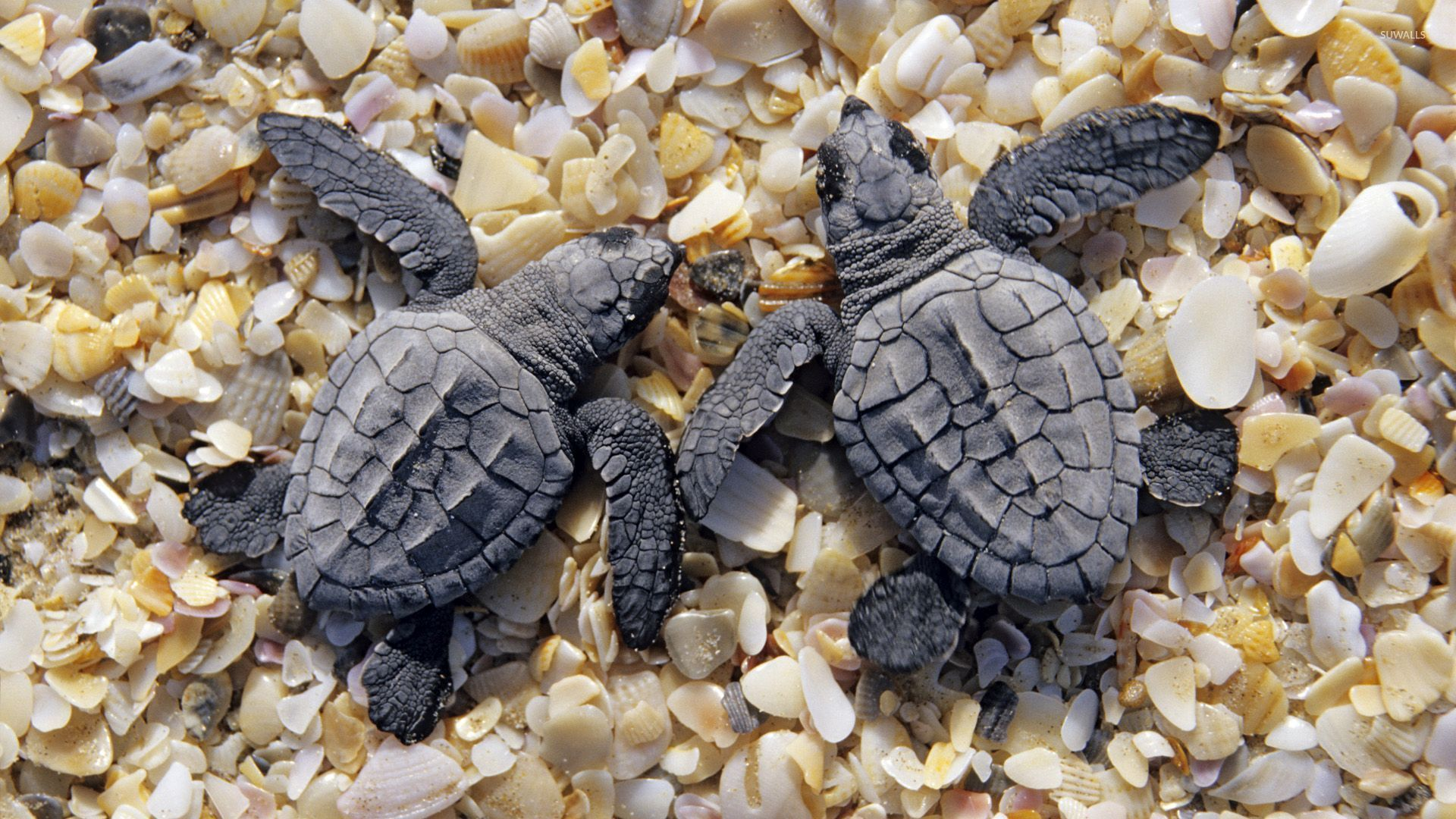 1920x1080 Sea turtles on shells and pebbles wallpaper - Animal wallpapers - #52174