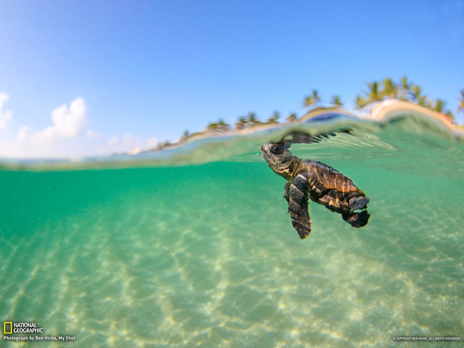 1600x1200 Bing Baby Turtle HD desktop wallpaper : Widescreen : High 1600x1200
