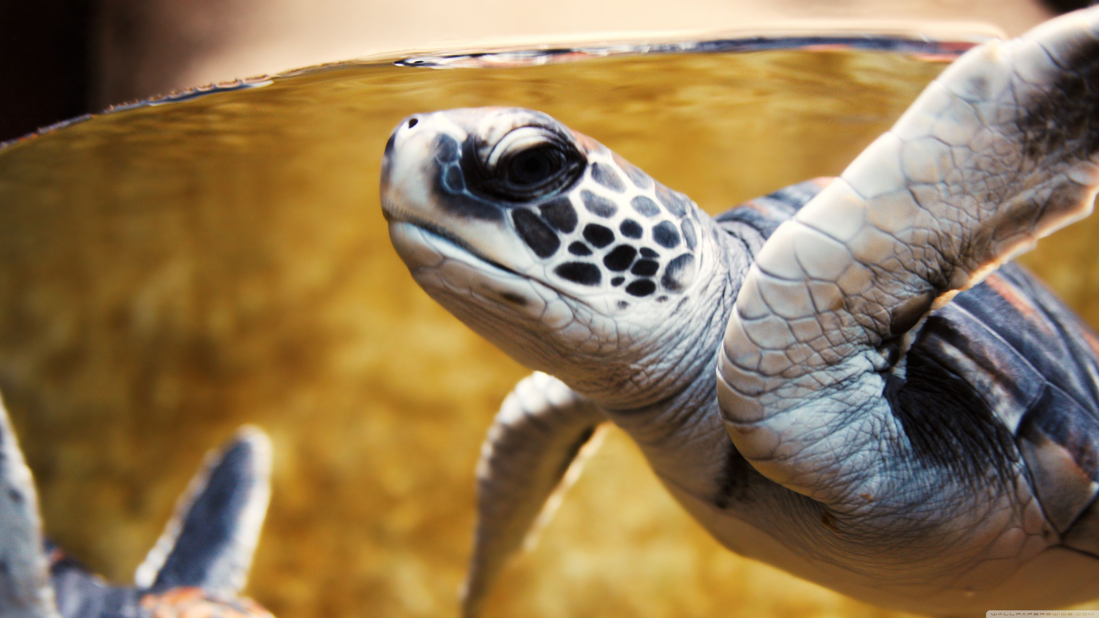 3840x2160 Baby Green Sea Turtle ❤ 4K HD Desktop Wallpaper for 4K Ultra HD TV ...