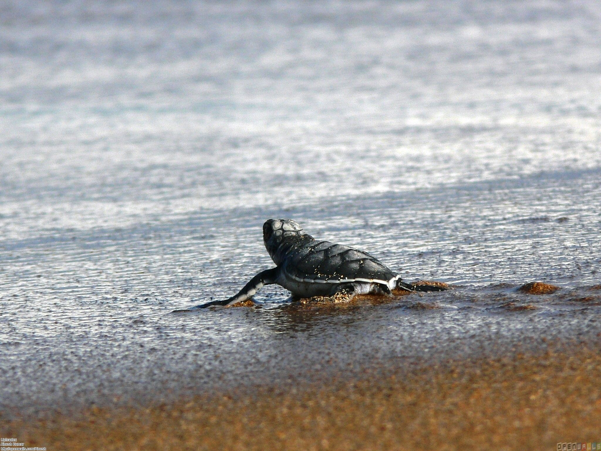 2048x1536 Baby turtle wallpaper #22105 - Open Walls