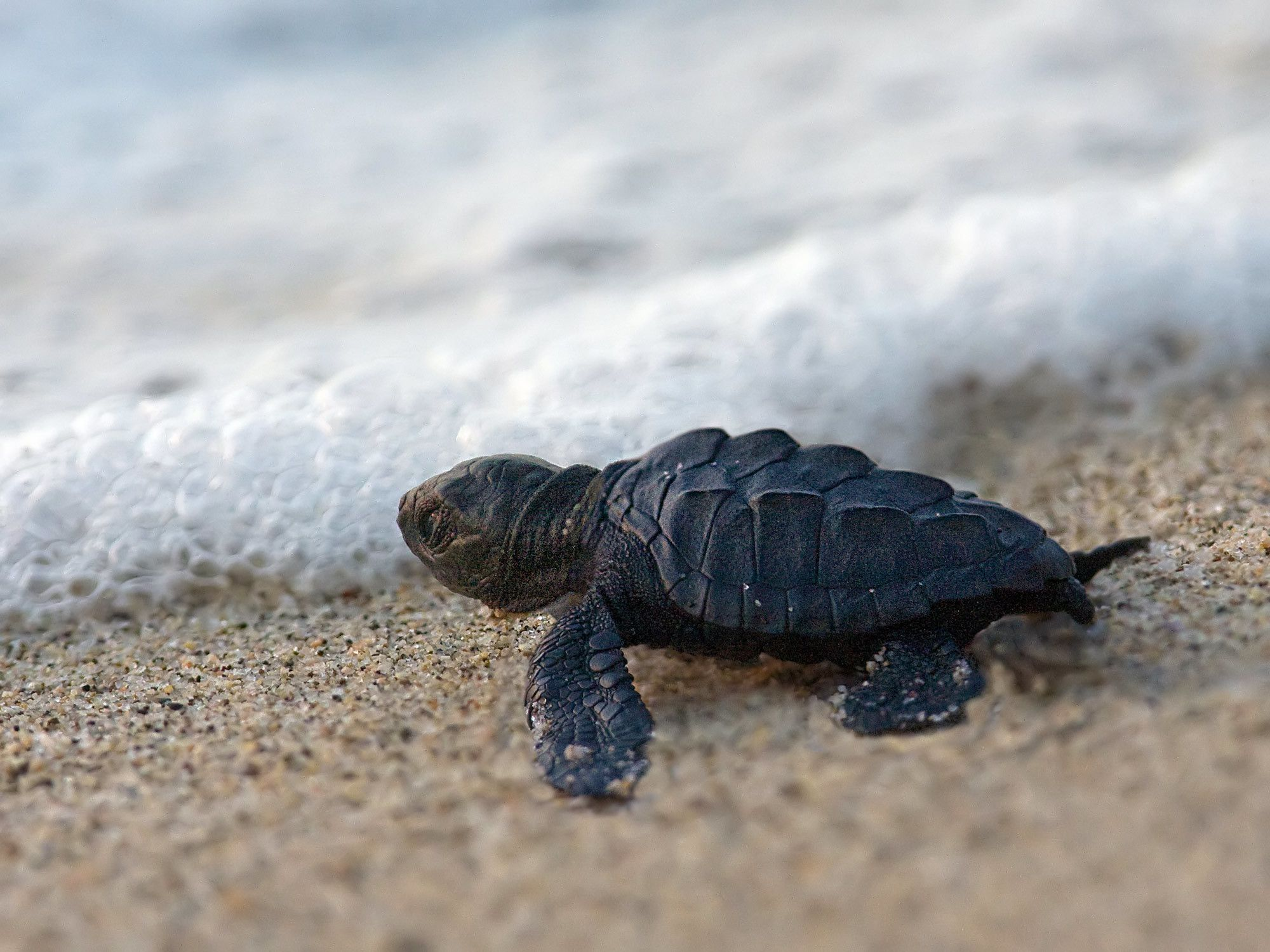 2000x1500 Baby Turtle Wallpaper 9 - Get HD Wallpapers Free