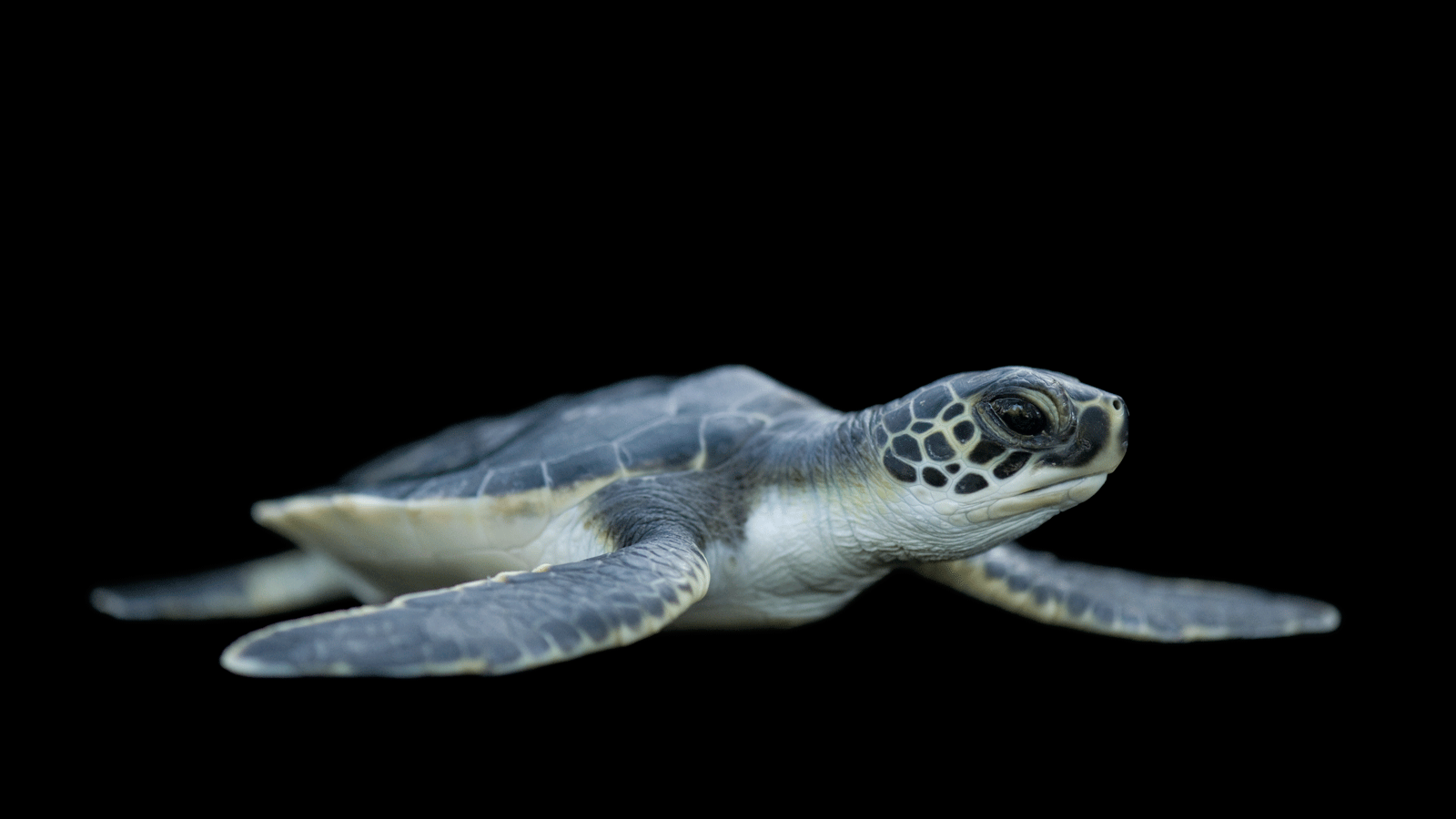 1600x900 Sea Turtle Pictures, 37 Sea Turtle Images and Wallpapers for Mac, PC ...