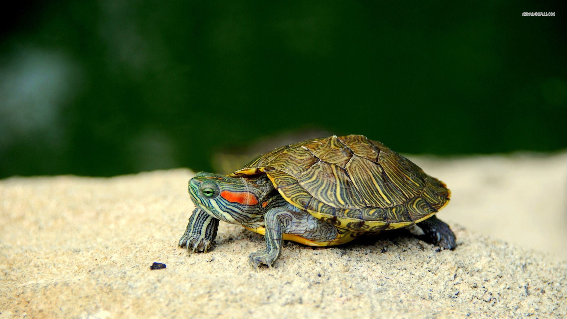 1920x1080 Turtle Wallpapers Group (69+)