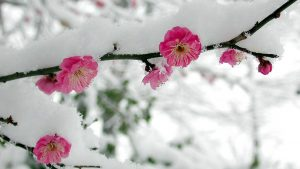 Cherry Blossom Snow Wallpapers – Top Free Cherry Blossom Snow Backgrounds