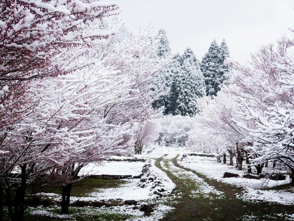 1024x768 When it snows it blossoms | Cherry blossoms, Snow and Japan