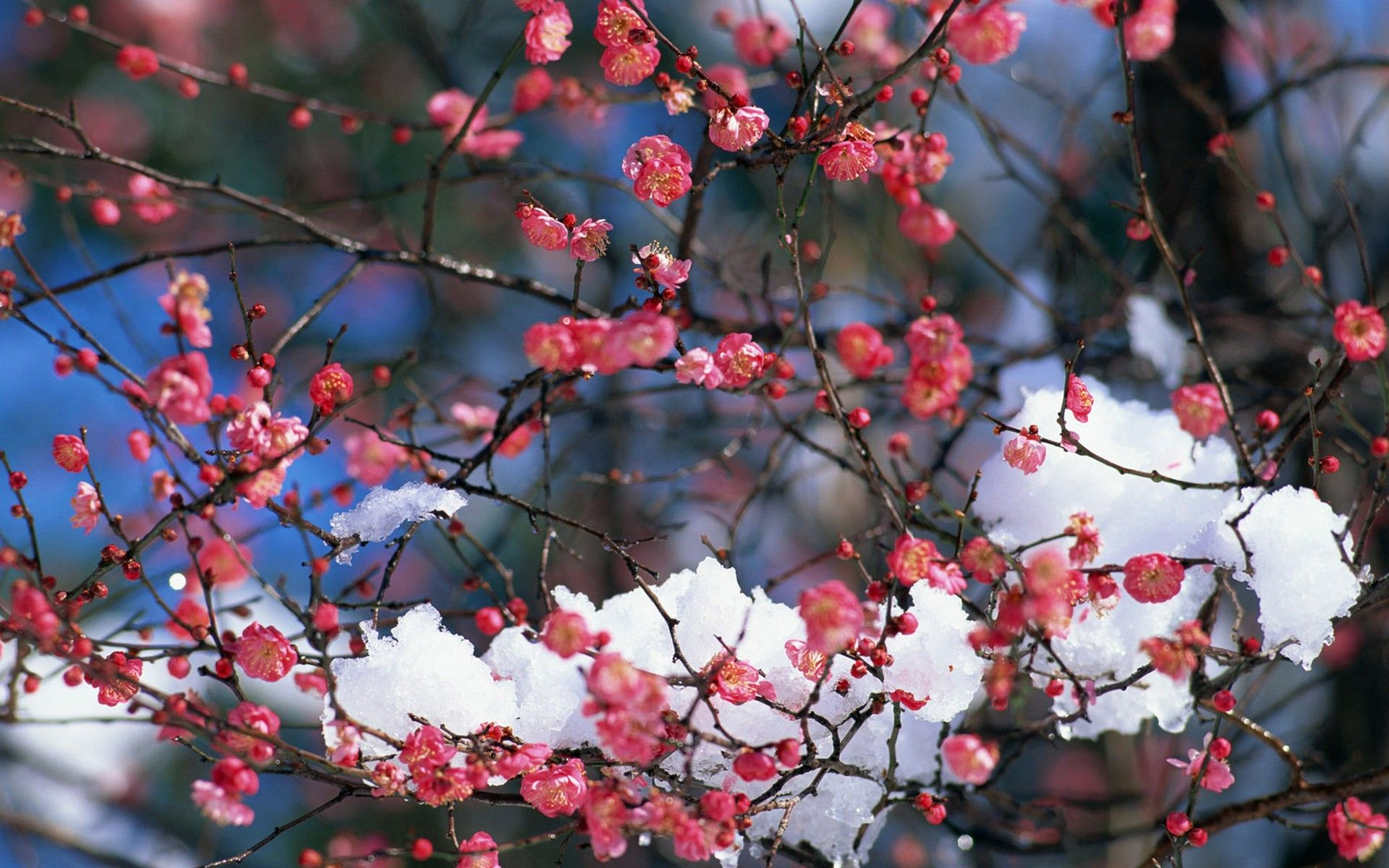 1920x1200 Japan, snow, cherry blossoms, flowers, pink flowers :: Wallpapers