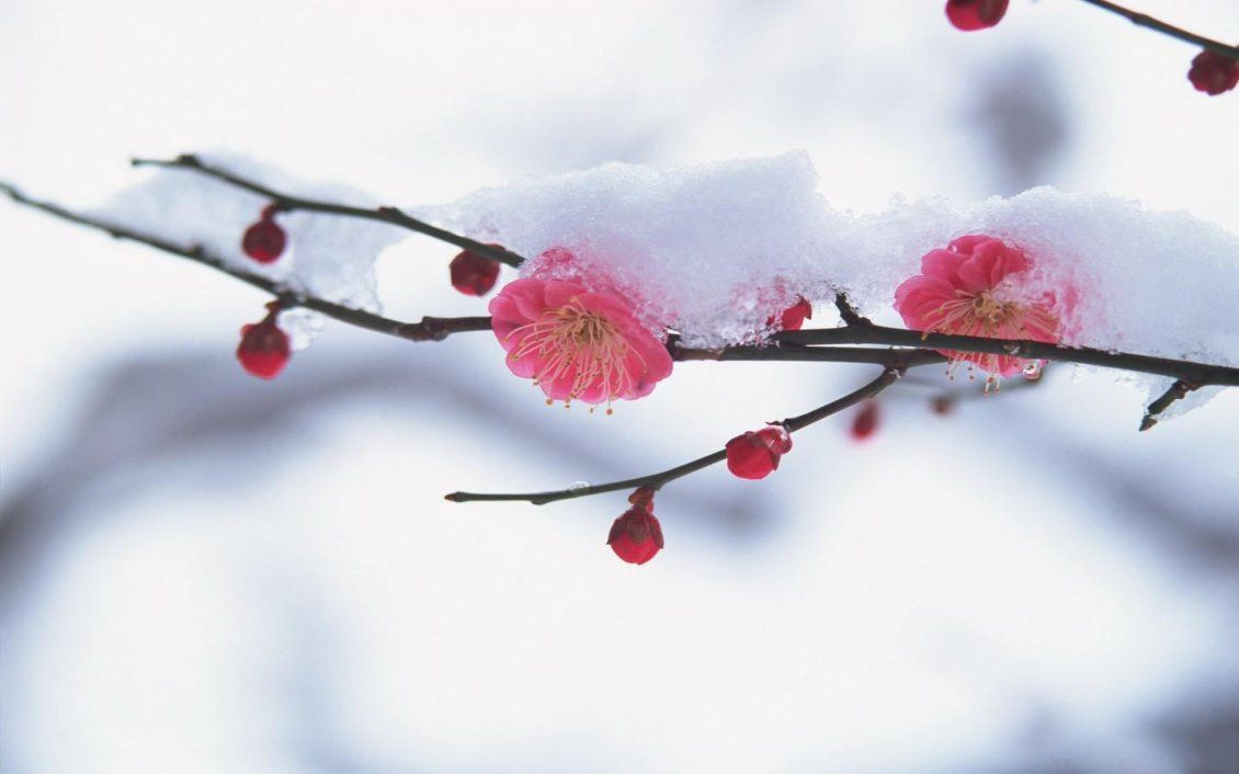 1130x706 Cherry tree blossom in the middle of winter