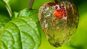 Chinese Lantern Fruit Wallpapers – Top Free Chinese Lantern Fruit Backgrounds