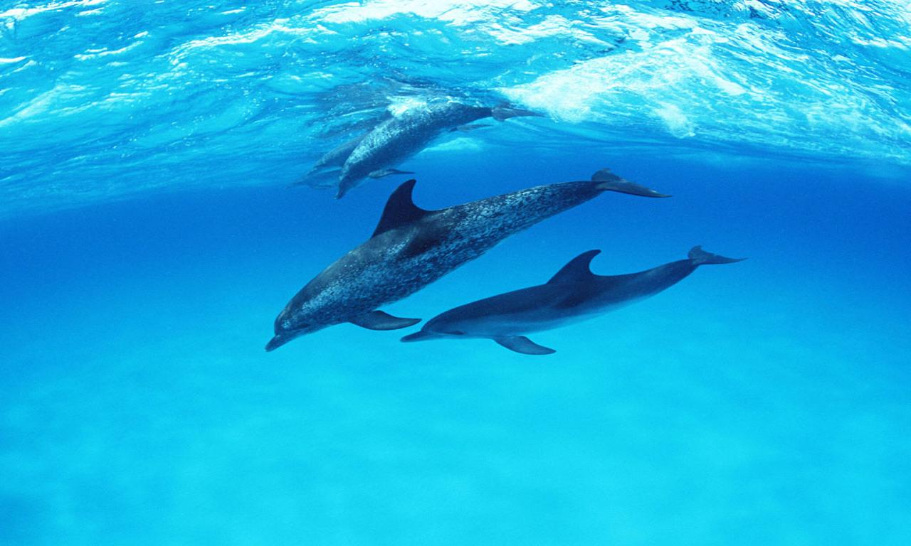 1280x768 Free Dolphin Wallpapers Desktop Background « Long Wallpapers