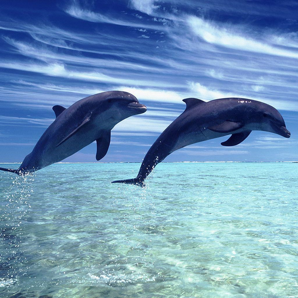 1024x1024 Baby Dolphins Jumping HD Wallpaper, Background Images