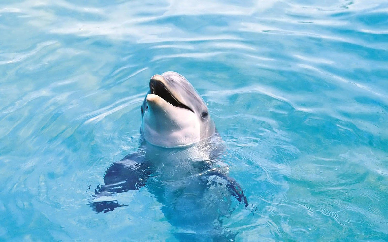 1600x1000 Free Dolphin Wallpapers Widescreen « Long Wallpapers