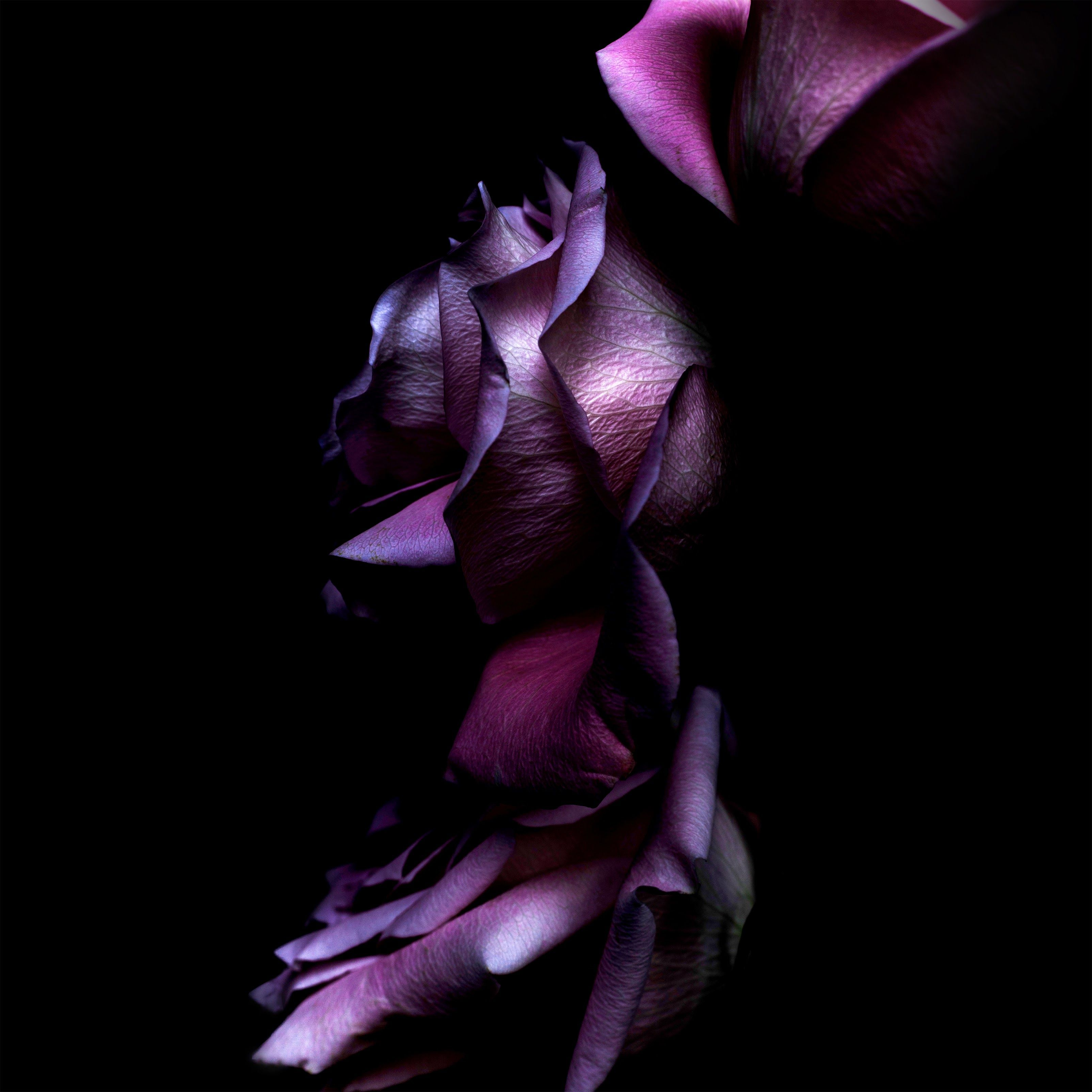3208x3208 Ios11 Purple Rose 4k, HD Computer, 4k Wallpapers, Images ...