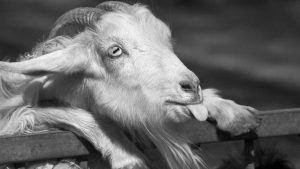 Black Goat Wallpapers – Top Free Black Goat Backgrounds