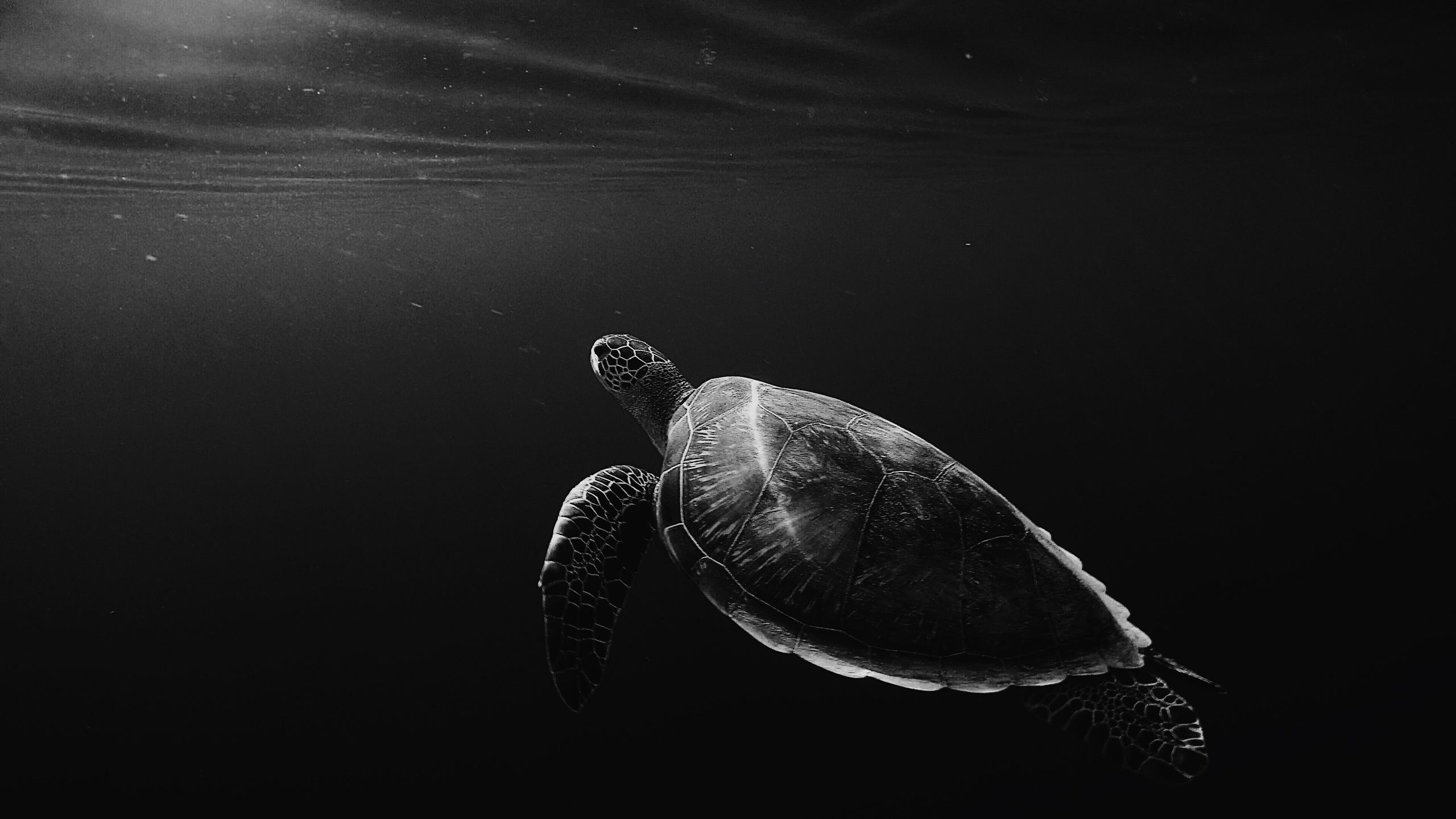 2560x1440 2560x1440 Turtle Oled 4k 1440P Resolution HD 4k Wallpapers, Images ...