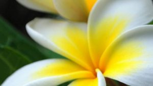 Plumeria iPhone Wallpapers – Top Free Plumeria iPhone Backgrounds